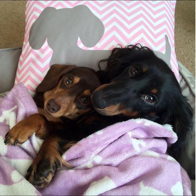 Pink & Gray Chevron Dachshund Pillow - Stuffed / Medium
