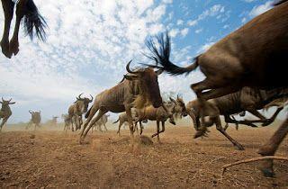 Arabmixat Com هــجرة الحيوانات البرية المذهلة صــور Animals Animals Wild Animals Beautiful
