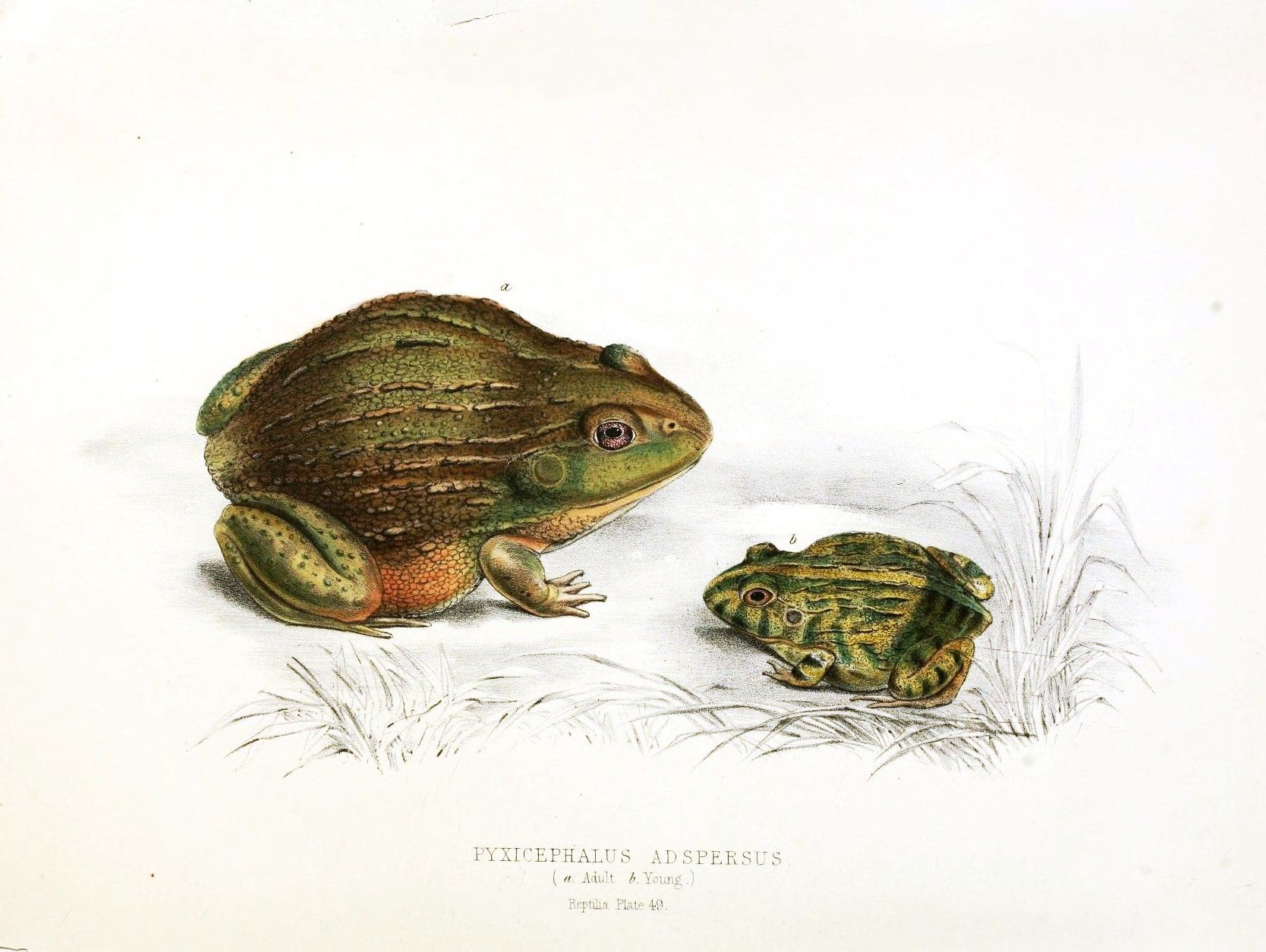 free public domain frog illustration public domain pinterest
