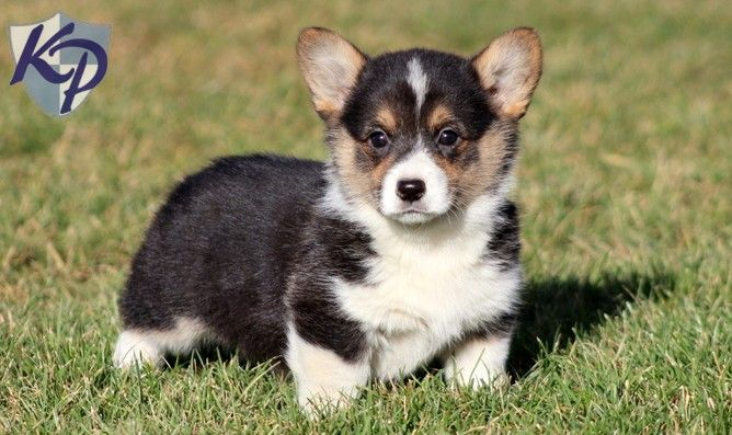 Puppy Finder Find Buy A Dog Today By Using Our Petfinder With Images Welsh Corgi Puppies Puppies