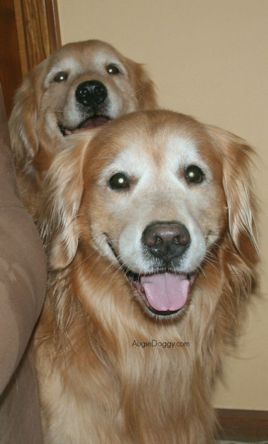 Golden Retrievers Augie And Ti From Augiedoggy Com Dogs Golden