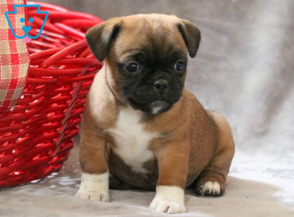 Maggie Super Cute Dogs Jug Puppies For Sale Puppies
