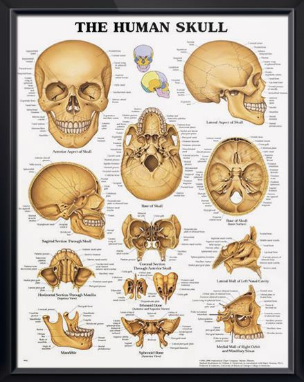 The Human Skull Chart 20x26 Doctors Anatomy Posters Pinterest