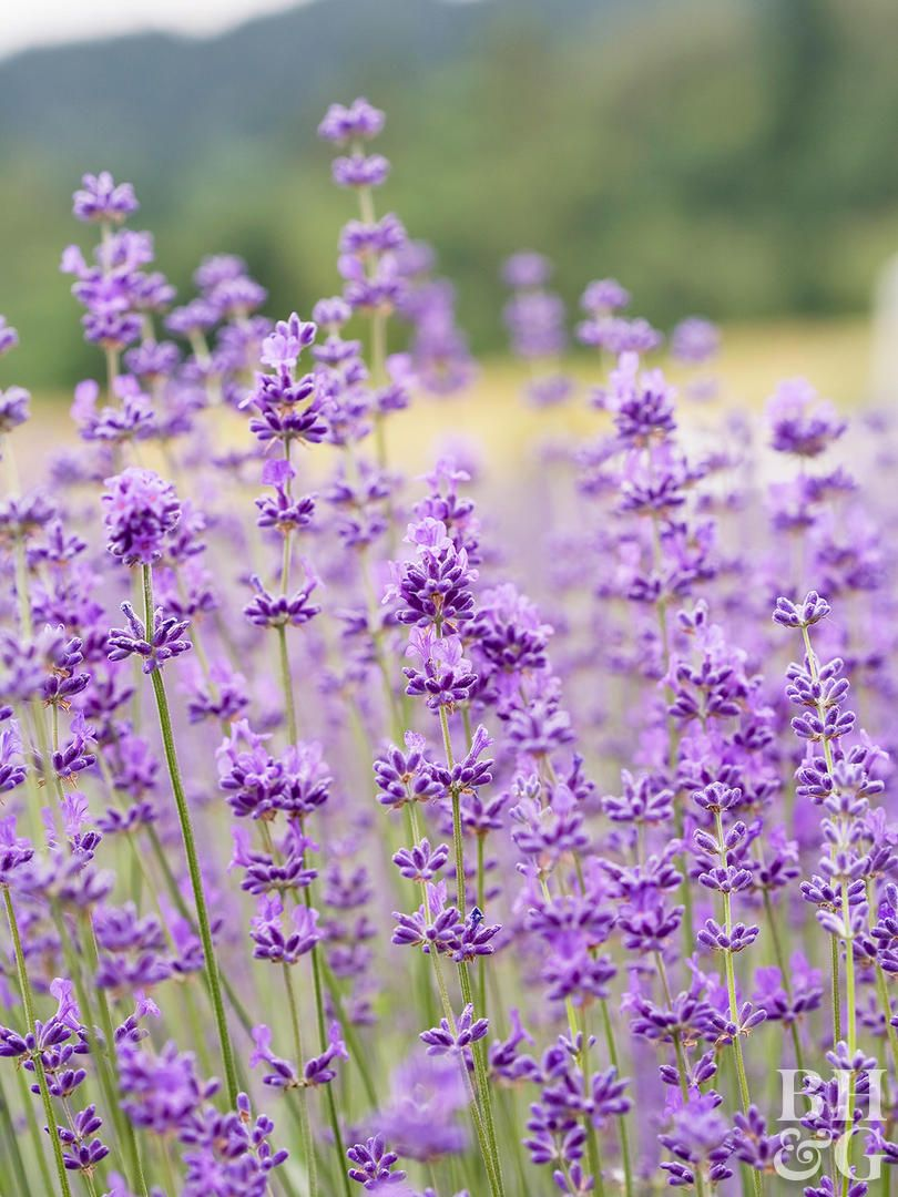 23 Top Lavender Varieties For Filling Your Garden With Color And Fragrance Types Of Lavender Plants Lavender Plant Lavender Varieties