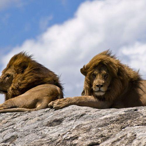 Male Lions on a rock.  (5/21/2013)