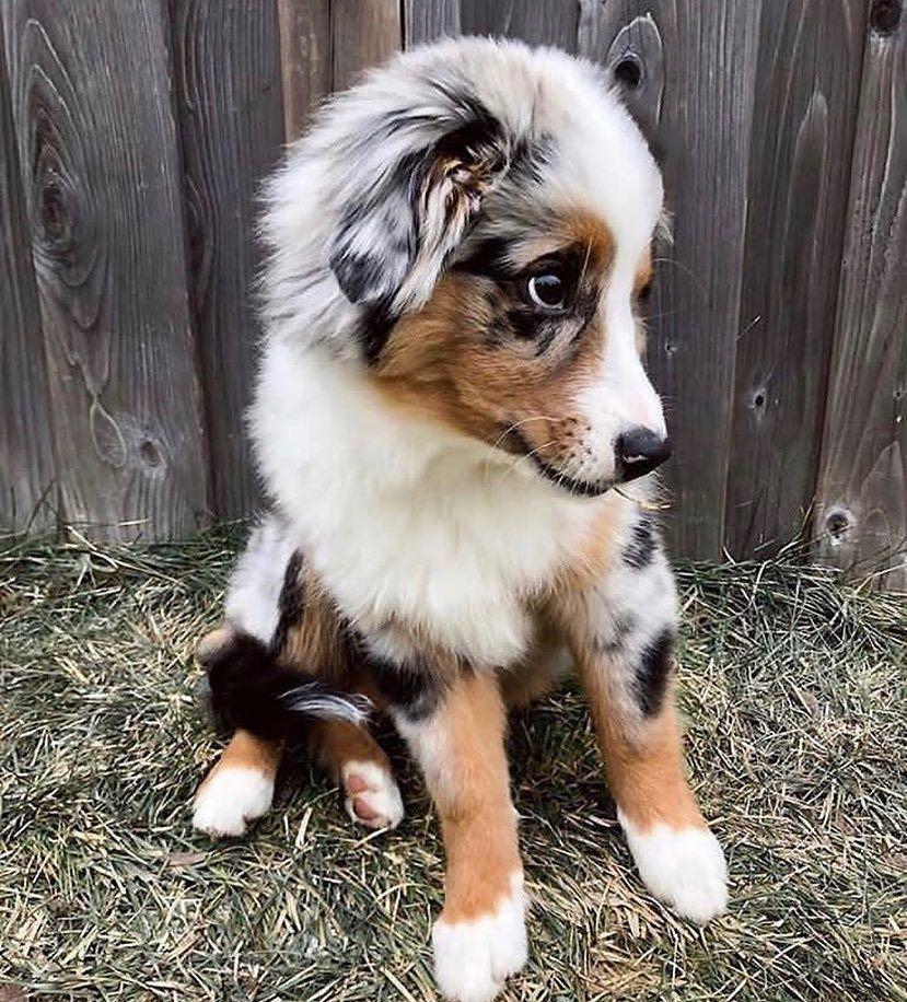Humour Animaux In 2020 Aussie Welpen Supersusser Welpe Babyhunde