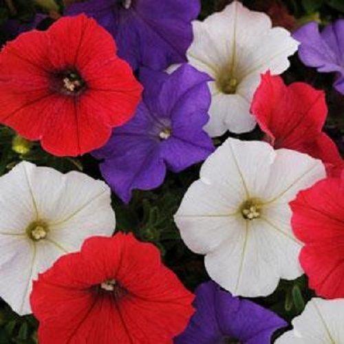 25 Pelleted Petunia Seeds Shock Wave Volt Mix Garden Starts Flower Seeds Petunias Annual Flowers