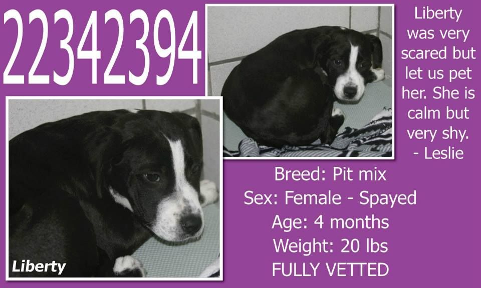 **Fort Worth, TX**CURRENT STATUS: Must be tagged by 9am 4/15/14**  Reason for URGENT STATUS: Upper Respiratory Infection - Nasal Discharge  Animal ID: 22342394 Name: Liberty Breed: Pit mix Sex: Female - Spayed Age: 4 months Weight: 20 lbs FULLY VETTED
