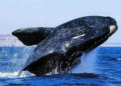 A Baleia Franca E Um Dos Maiores Cetaceos Existentes E A Segunda