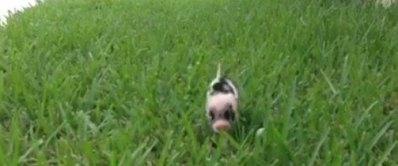 This Vine Of A Tiny Piglet Prancing Through Grass Will Be The Best 6 Seconds Of Your Day