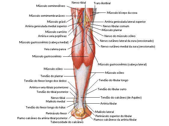 Da artéria panturrilha região da
