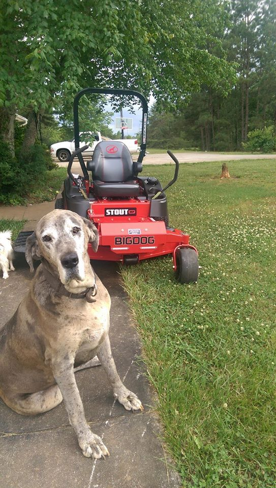 Sampson And My New Big Dog Stout Mp Best Lawn Mower