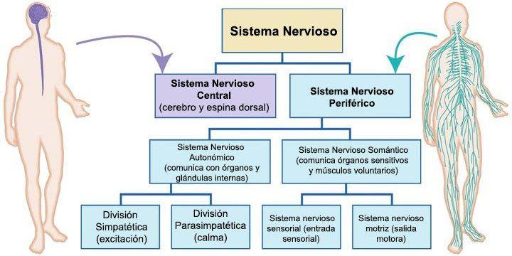 El sistema nervioso somático (SNS) forma parte del sistema nervioso ...