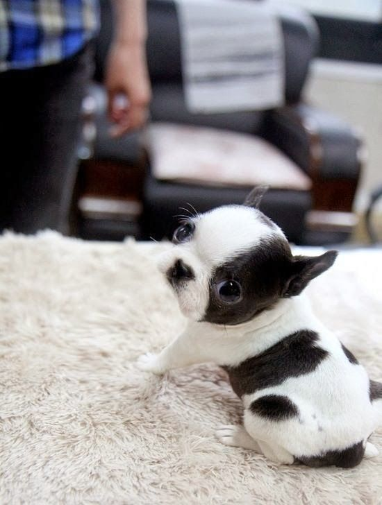 Holy Crud Look How Tiny He Is Awww Shelly Figueroa Figueroa Morrison Puppies French Bulldog Puppies Cute Animals