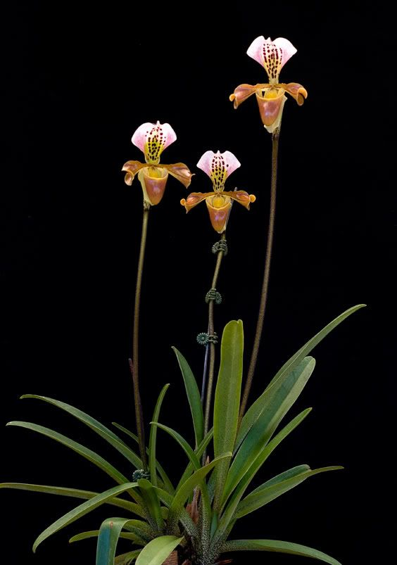 Paph gratrixianum. Cool species; noteworthy for its orange hues and spotted dorsal petal.
