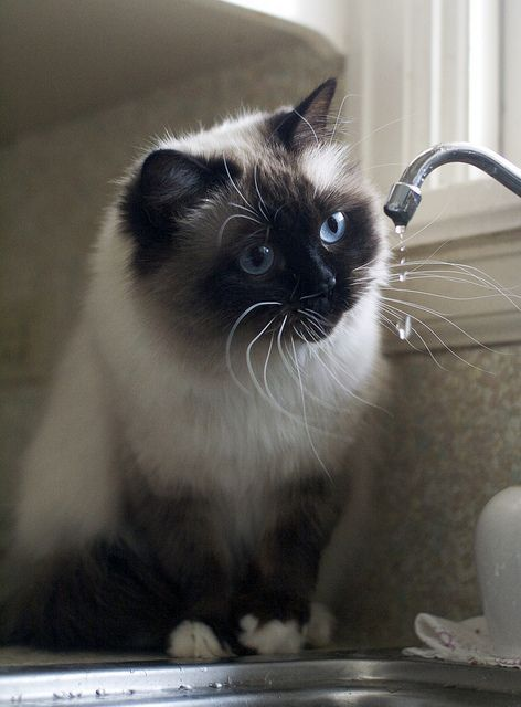 Cat Takes A Bath In The Sink Video Cats Gorgeous Cats Beautiful Cats