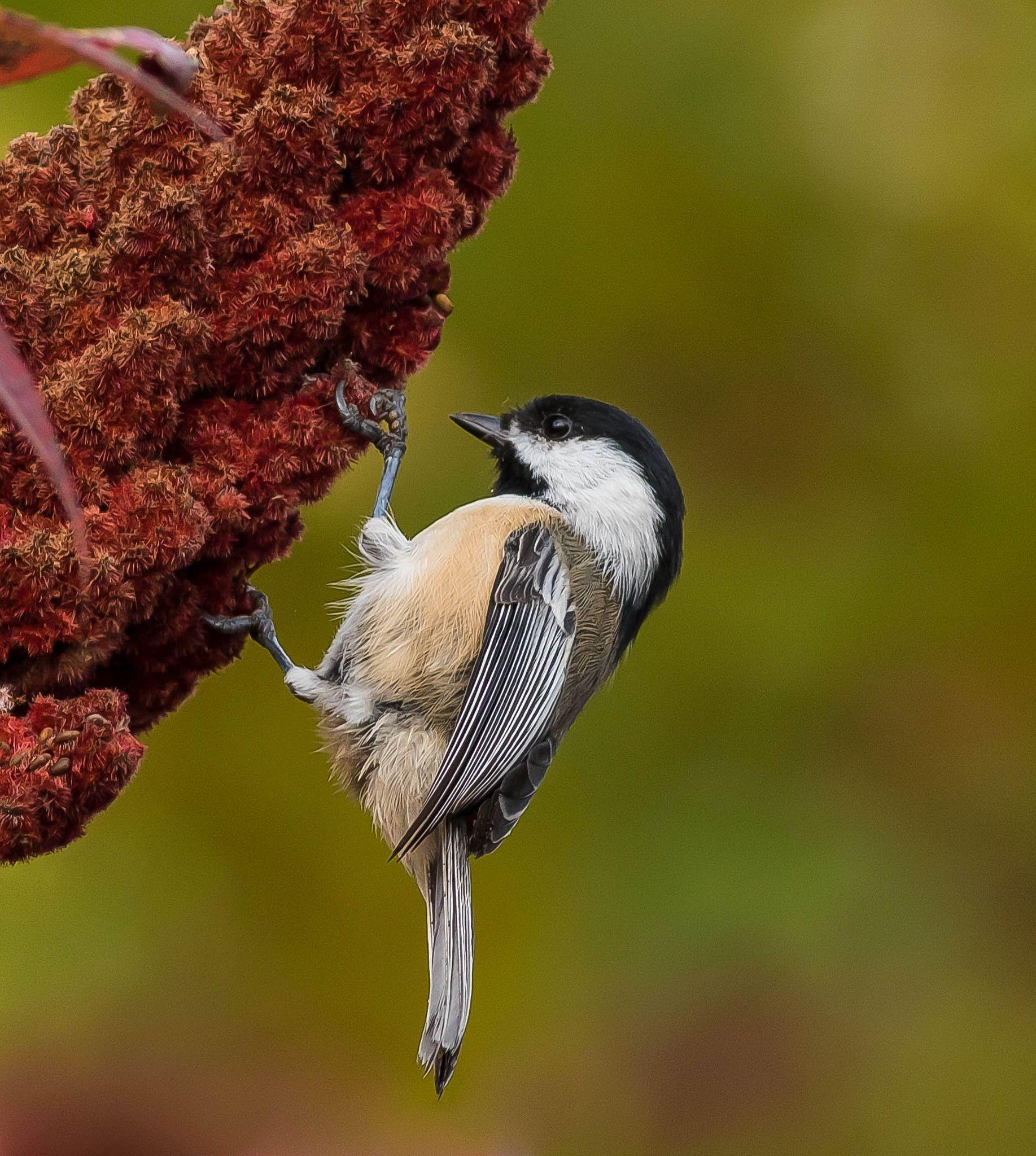 Blackcapped chickadee bird Birds and Blooms Pinterest Pets