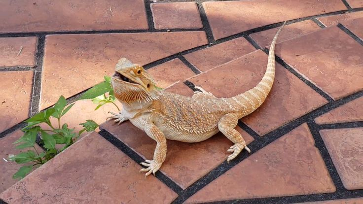 Pin by Will on Bearded Dragon Bearded dragon cute