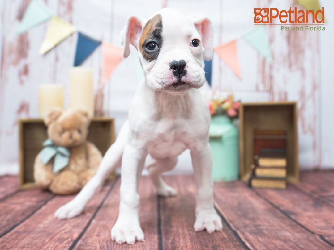 Petland florida has boxer puppies for sale check out all