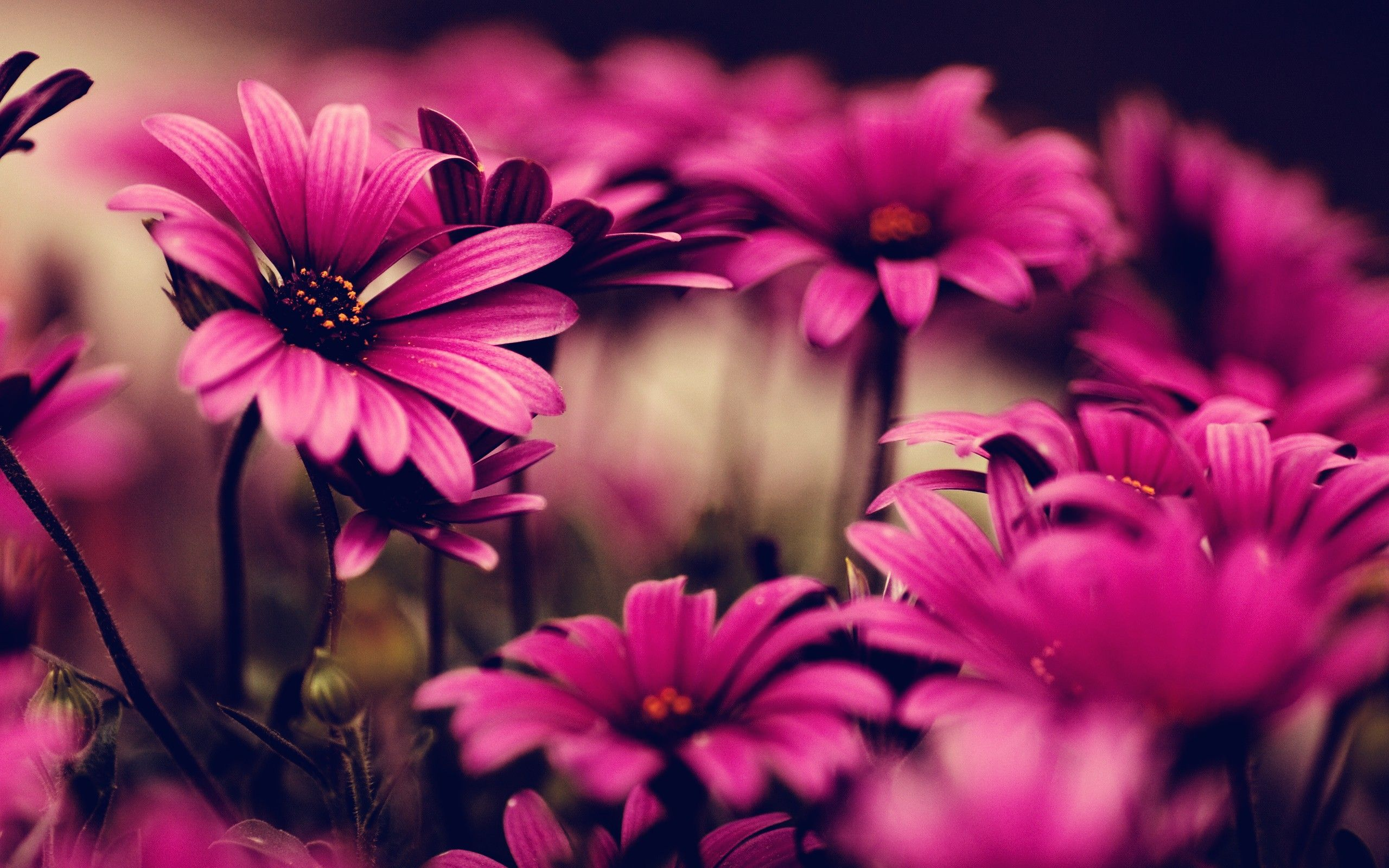 Ultra HD Wallpaper, flower 4K | pink flowers photography ...