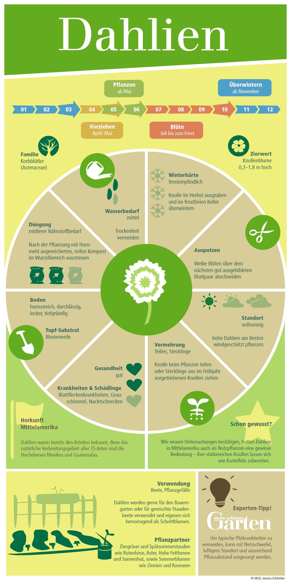 dahlien, georginen - pflanzen, pflege und tipps | shops, ps und, Gartengerate ideen