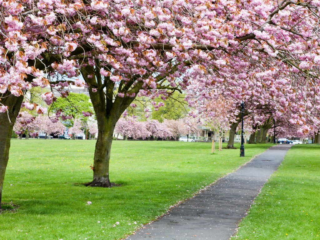 Webshotsphotos Cherry Blossom Harrogate Tree Surgeons
