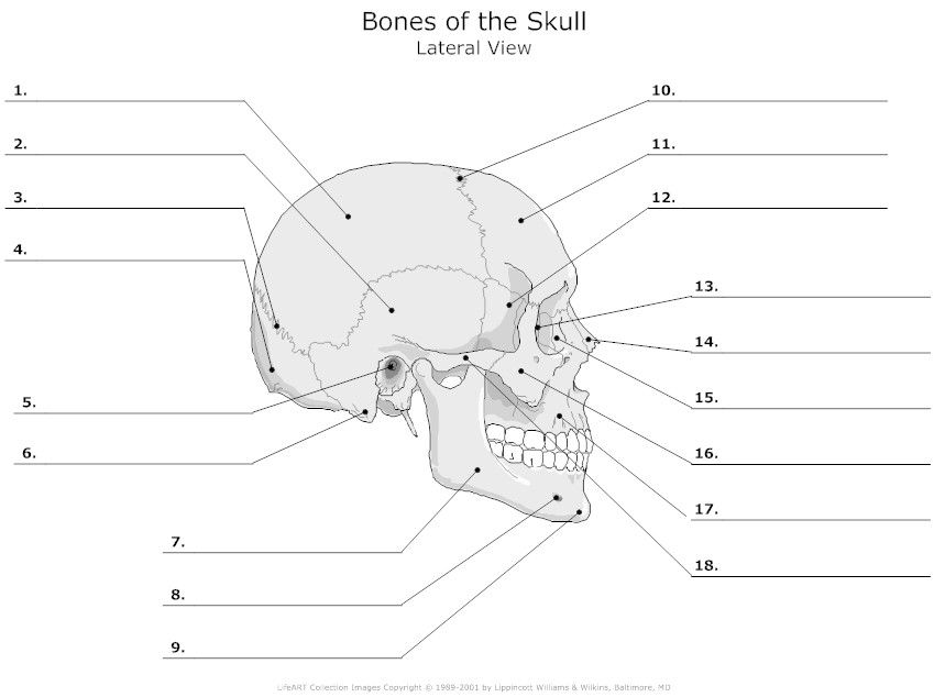 Lateral View Of The Bones Of The Skull Unlabeled Example Np