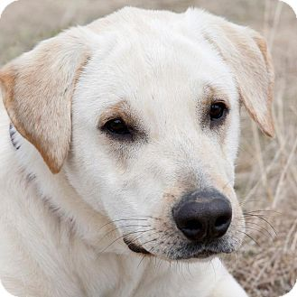 Yellow Lab- Buddy. He has a slight vision problem he was born with but it doesn't slow him down one bit. Adopt me! Broken Arrow, OK