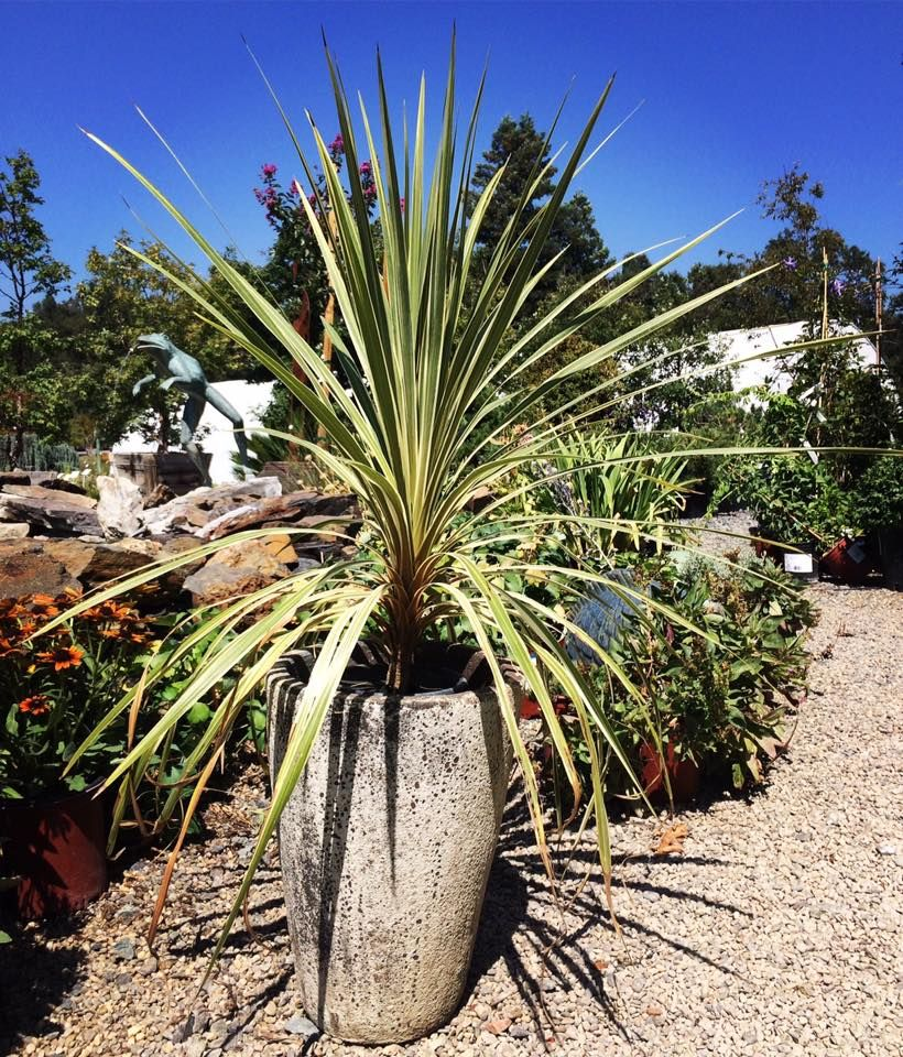 A Potted Plant Can Add Whole New Look Cordyline Torbay