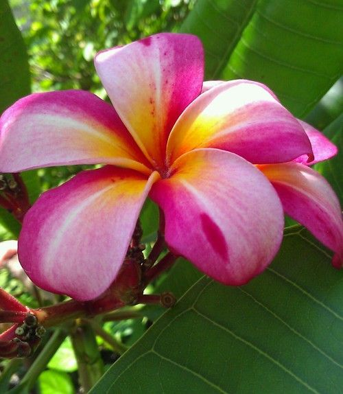 outdoormagic:  Outdoormagic: Almost July, but my favorite Plumeria is finally blooming!