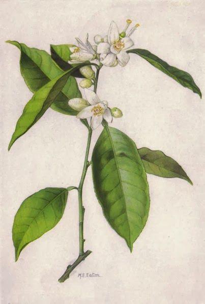 Un Lugar Ecologico Significado Y Propiedades Del Azahar Azahar Flor Ilustracion Grabados Botanicos