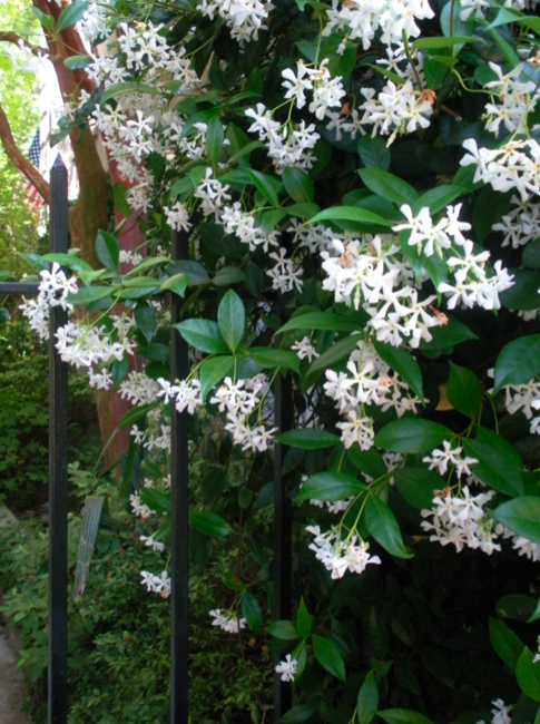 Confederate jasmine this stuff smells nice and grows like for Climbing flowering plants for fences