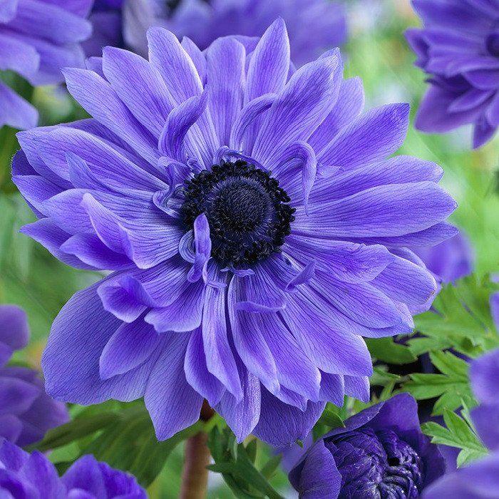 Anemone Lord Lieutenant Easy To Grow Bulbs Bulb Flowers Anemone