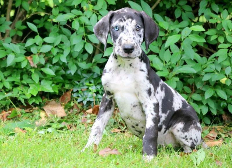 Betty Boop Great Dane Puppy Puppies Puppies For Sale