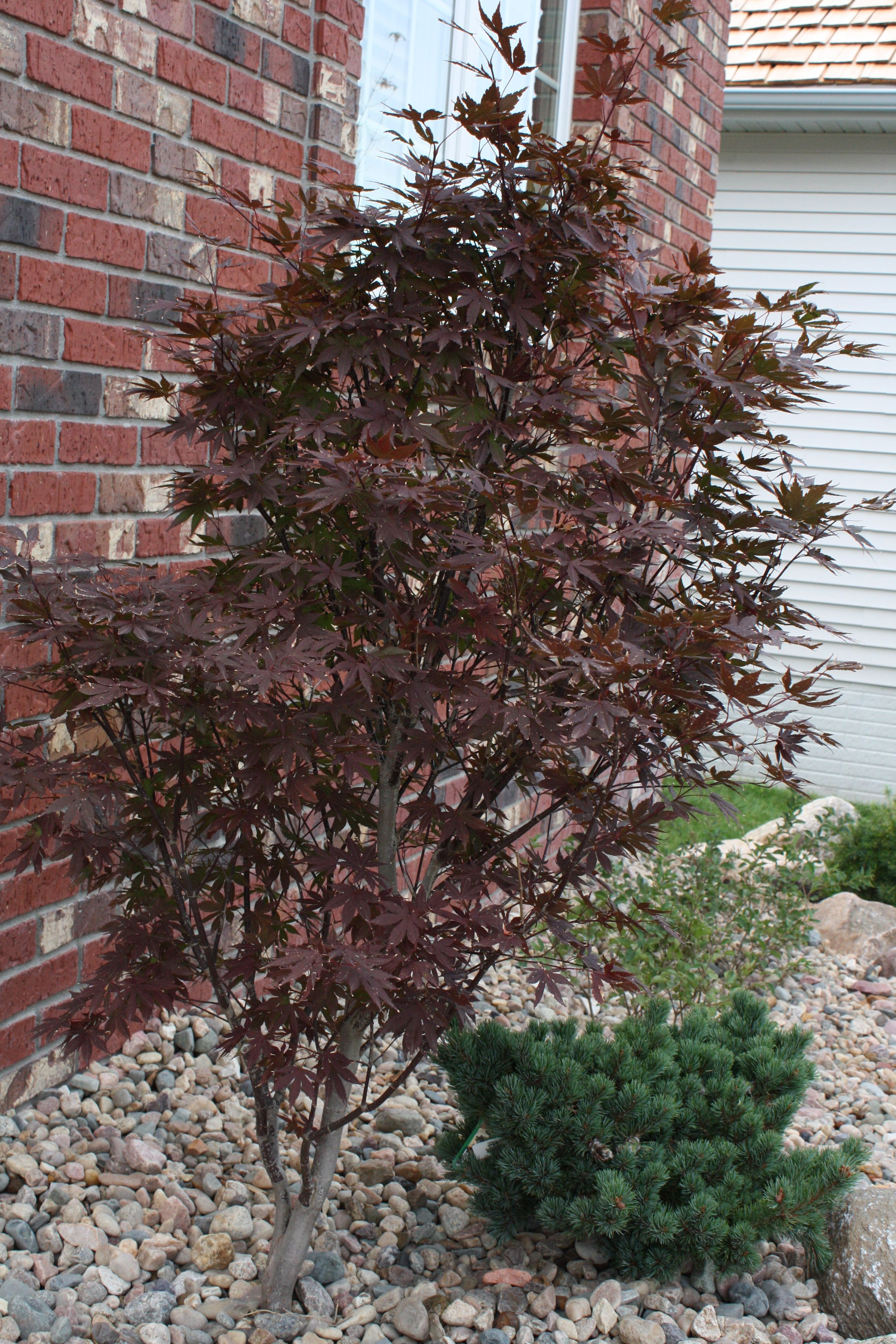 Crimson Prince Japanese Maple With Kinpo Pine From Iseli