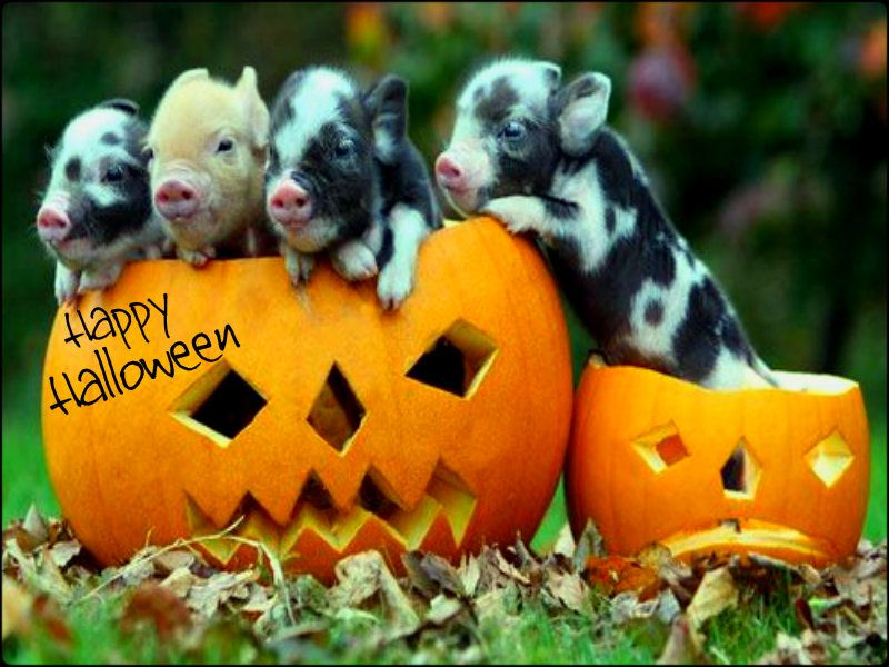 Funny Happy Halloween Quotes Pranks Videos Photos Images For Facebook Whatsapp 2015 Teacup Pigs Halloween Animals Cute Animals