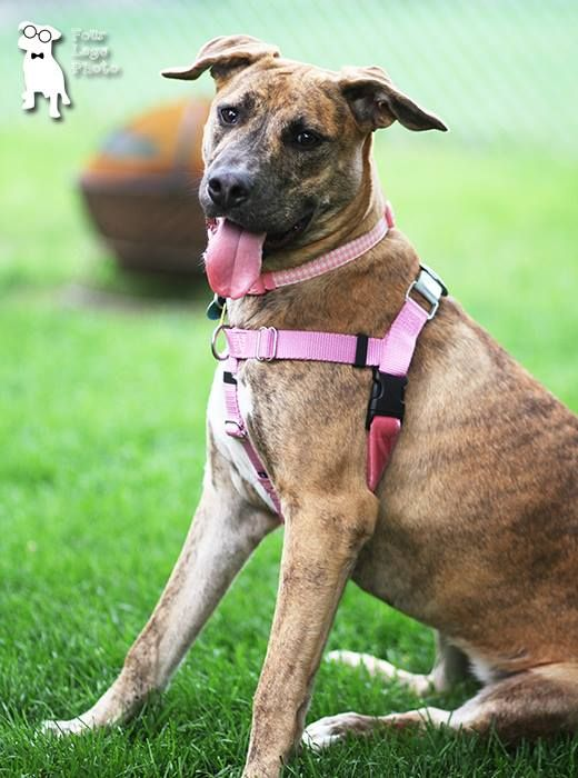 Camilla is an adoptable Bullmastiff/Pit Bull Terrier looking for a new home in Rochester, NY! Check out her page for more details!