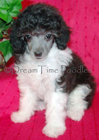 Toy Parti Poodle Puppy Adorable Poodle Puppy Parti Poodle Poodle