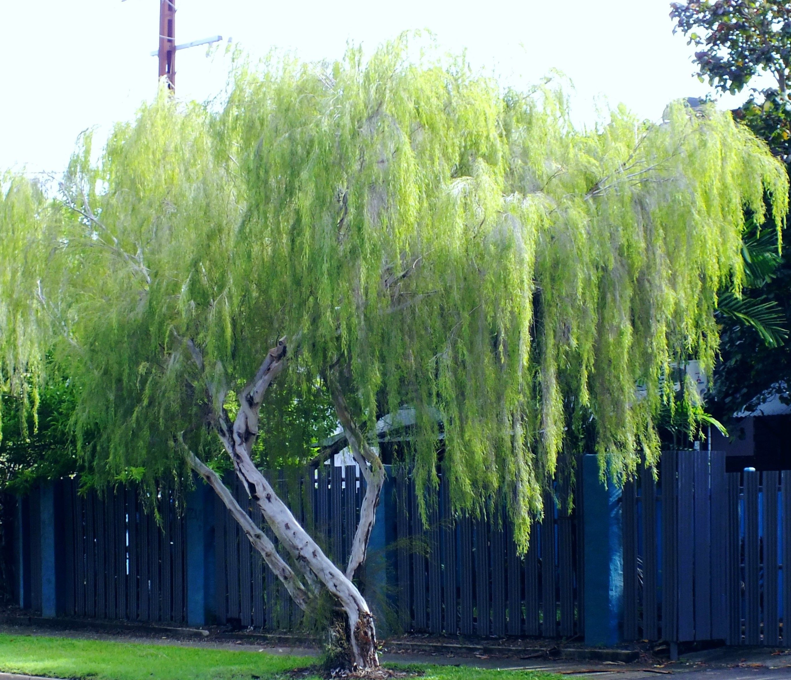 Leptospermum Maddium Nt Native Ti Tree Its Attractive