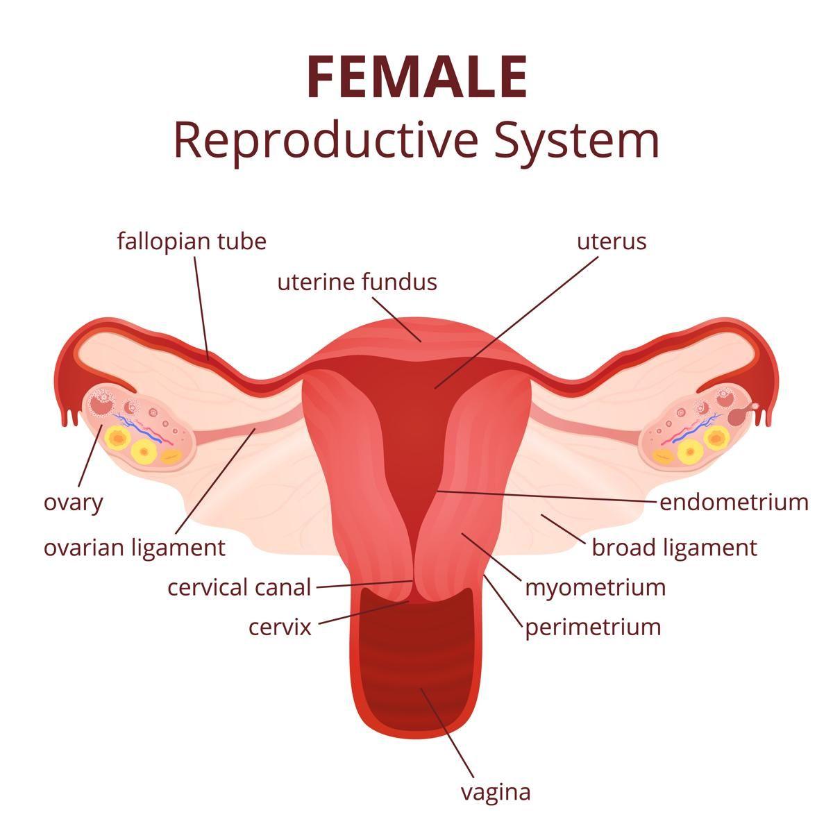 medium resolution of diagram of uterus and fallopian tubes diagram of uterus and fallopian tubes labeled diagram of