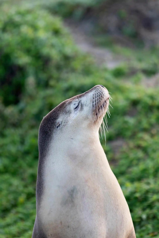 Kangaroo Island Pioneering Research Examines Health Of Sea Lions In Pictures Sea Lion Kangaroo Island Australian Mammals