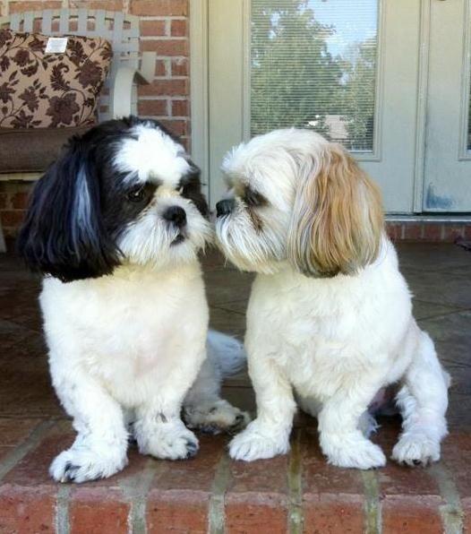 Love My Boys Cutest Small Dog Breeds Shih Tzu Shih Tzu Puppy