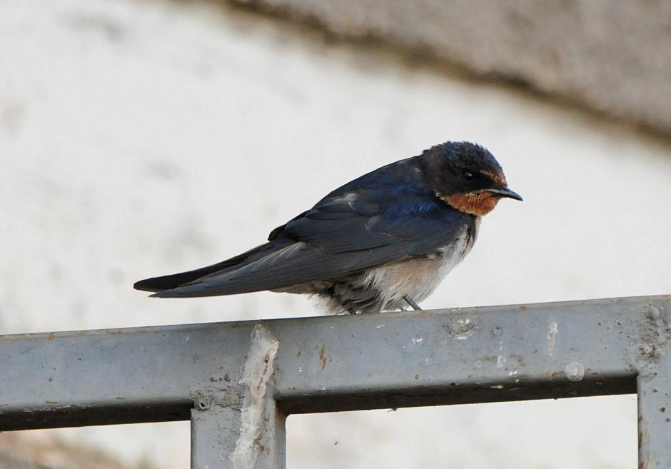 Angolan Swallow (Hirundo angolensis) A bird perching on a metal construction