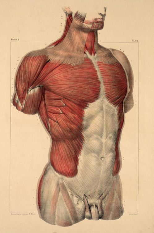"""senjukannon: """" Anatomical illustrations of the torso and upper body, showing musculature, skeletal structure, blood vessels, connective tissue (and so on) by Nicolas-Henri Jacob for Jean-Baptiste Marc..."""