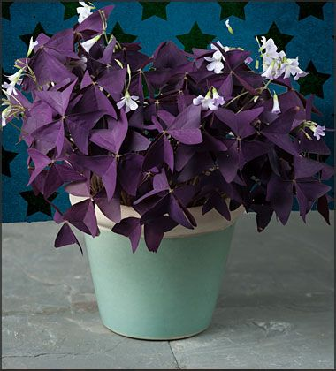 Image result for purple oxalis
