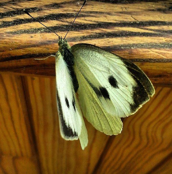 Papillon posé....