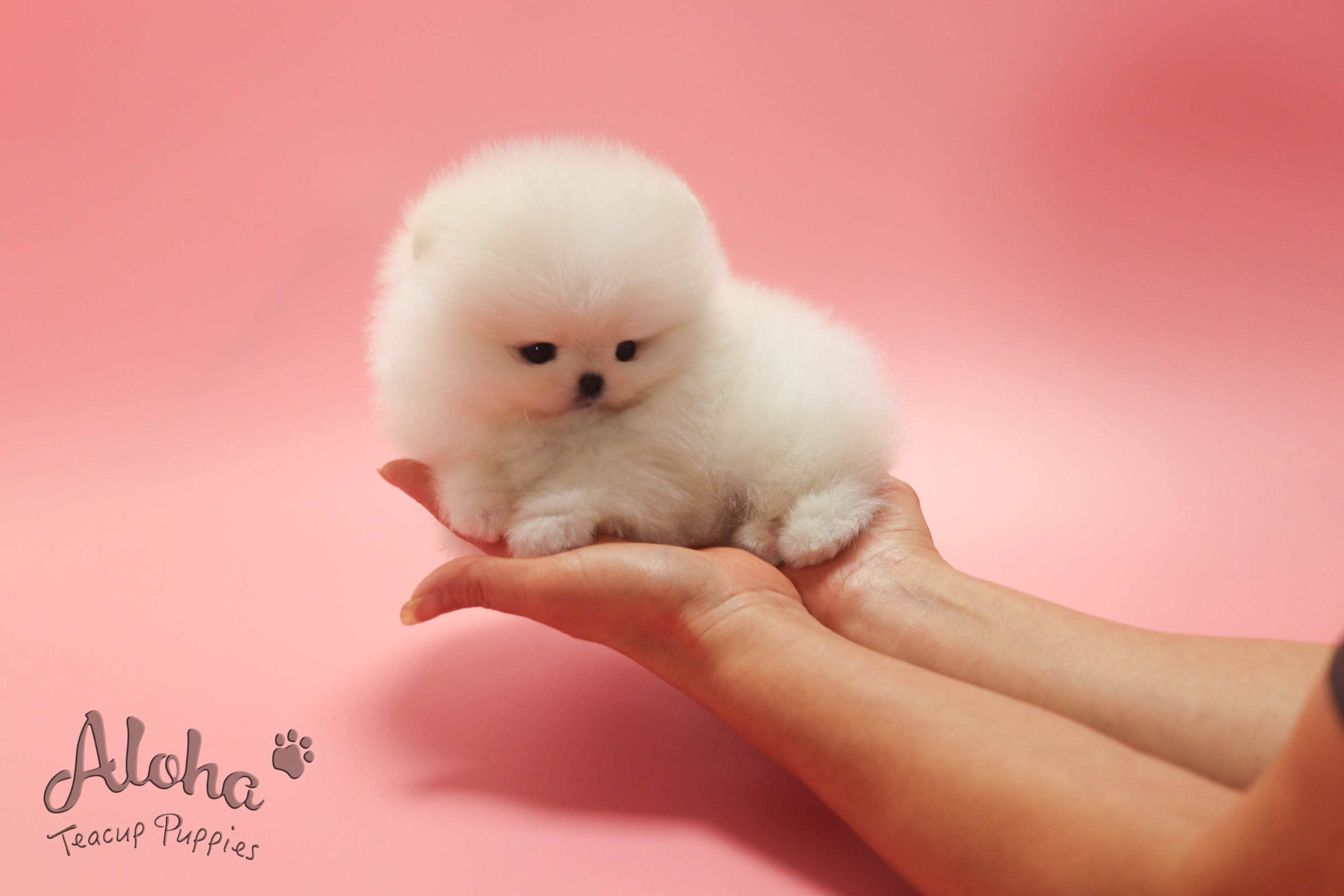 Micro Teacup Pomeranian Https Www Alohateacuppuppies Com Teacuppomeranian Teacuppomeran In 2020 Cute Teacup Puppies Teacup Puppies For Sale Teacup Puppies