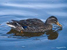 pato na água azul