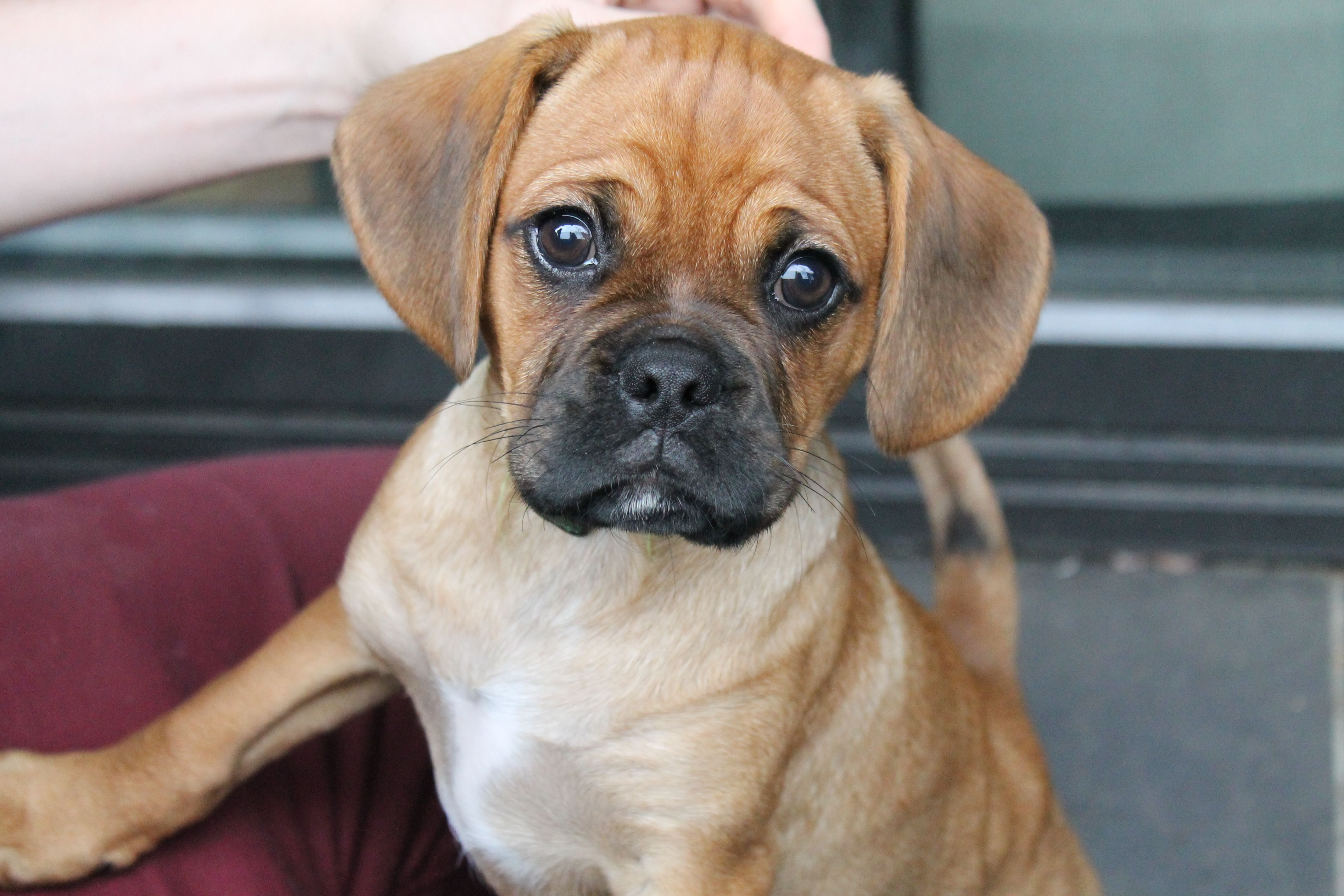 Possibly The Cutest Dog Baxter The Pugalier Hybrid Dogs Dogs