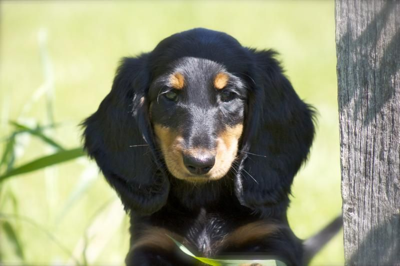 Mom S Dachshunds Past Puppies In 2020 Puppies Puppy Pictures Dachshund